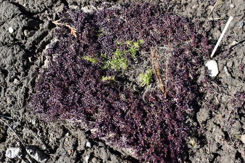 Iris Moss